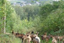 Chèvrerie de Borlon - les chèvres